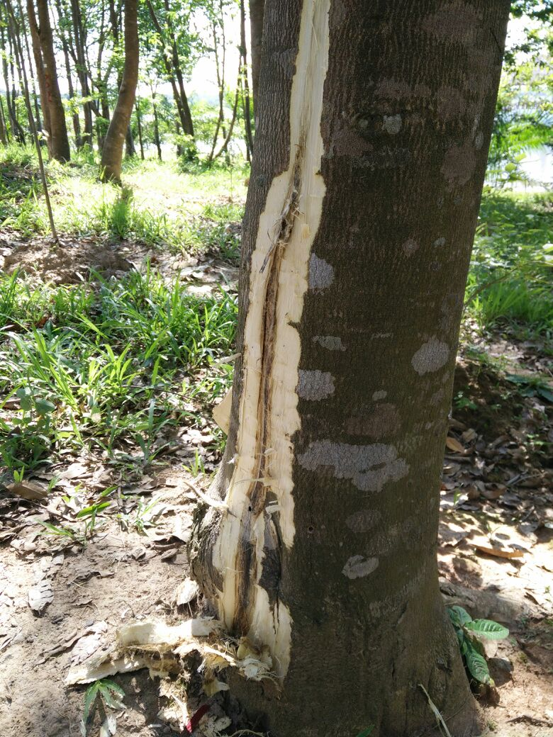 Wood From Trees ~ Agarwood